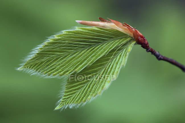 Folhas de faia jovem no ramo de árvore, close-up — Fotografia de Stock