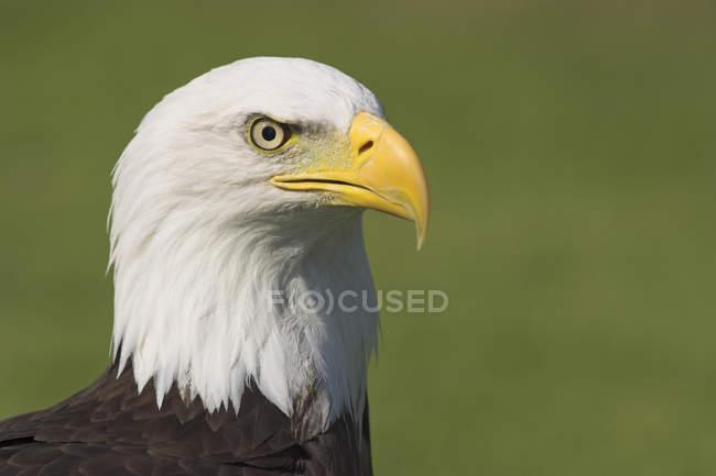 Портрет хищная птица лысый орел на открытом воздухе. — стоковое фото