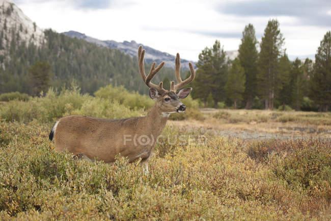 Cerf mulet mâle debout dans les herbes — Photo de stock