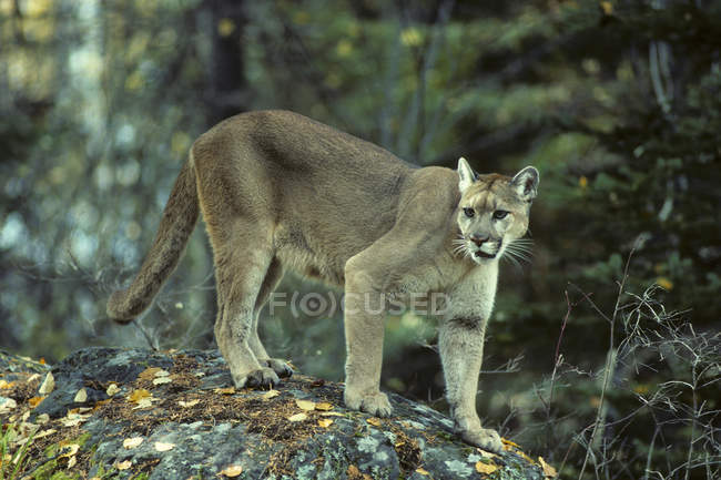 Female cougar walking on rocks in forest. — стоковое фото