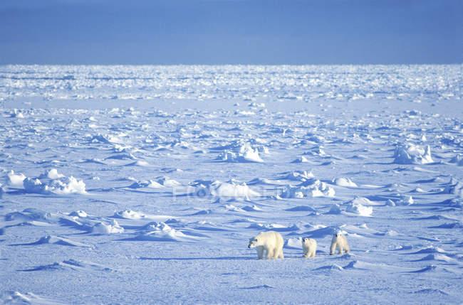 Orso polare femmina che viaggia su pack ice con cuccioli a Hudson Bay, Canada . — Foto stock