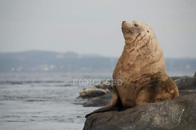 Leoni marini Steller appoggiati su Race Rocks, Victoria, Canada — Foto stock