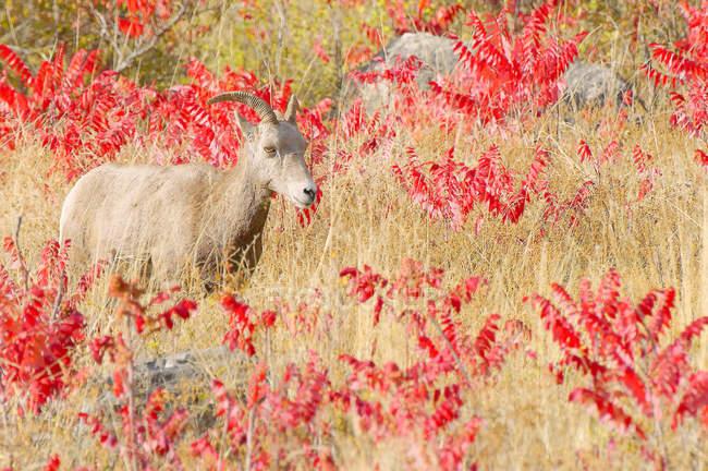 Эве bighorn овец в цветочном лугу Кутеней региона, Британская Колумбия, Канада — стоковое фото