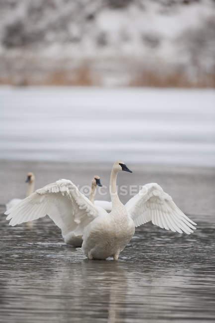 Трубач Лебідь на воді взимку в провінції Британська Колумбія, Канада — стокове фото