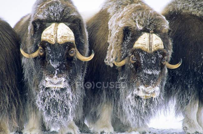 Muskoxen in circolo difensivo, Banks Island, Territori del Nord-Ovest, Canada Artico . — Foto stock