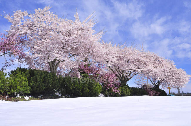 Cherry trees in blossom with spring snow, Nanaimo Airport, Vancouver Island, British Columbia, Canada — Stock Photo