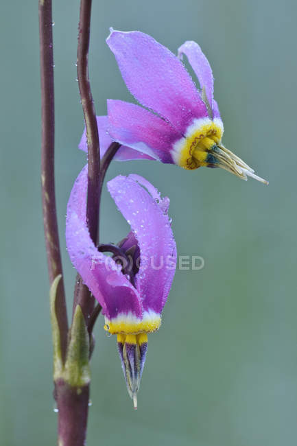 Close-up of shooting star flowers in nature — Stock Photo
