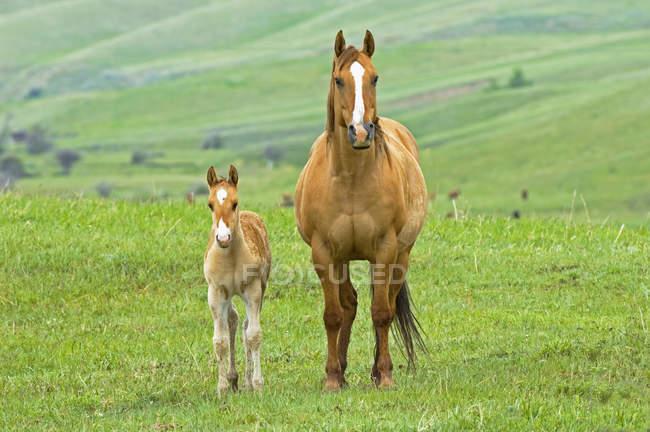 Pferd mit Fohlen weiden auf der Ranch im südwestlichen Alberta, Kanada. — Stockfoto