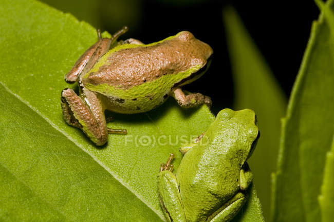 Pacific tree frogs sitting on plant leaf, close-up — стокове фото