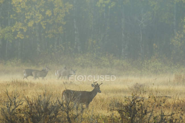 White-tailed Deer Adults in misty landscape — Stock Photo