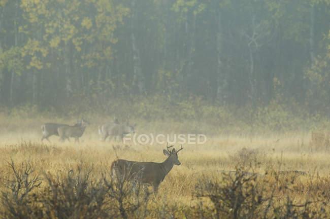 Cervi bianco - Uniti adulti nel paesaggio nebbioso — Foto stock