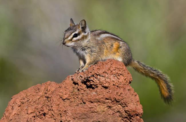 Petit tamias perché sur la roche dans la forêt — Photo de stock