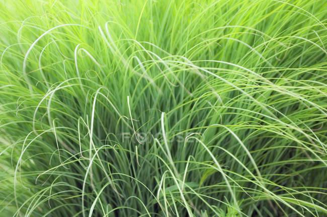 Деталь растет зеленая трава, полный кадр — стоковое фото