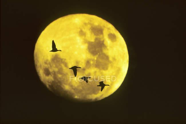Gansos de nieve migrando a través de la luna llena, Saskatchewan, Canadá - foto de stock