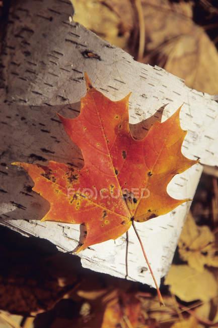 Крупным планом один осенний кленовый лист на бересте — стоковое фото