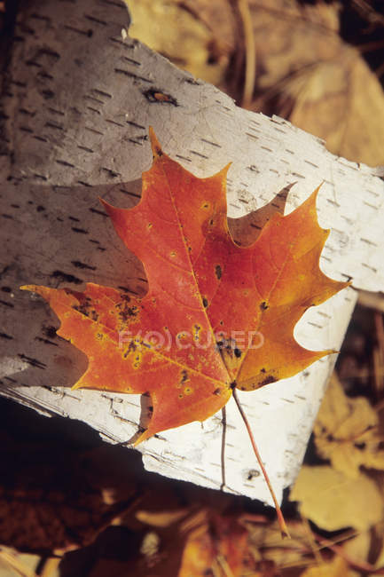 Close-up of single autumnal maple leaf on Birch bark — Stock Photo