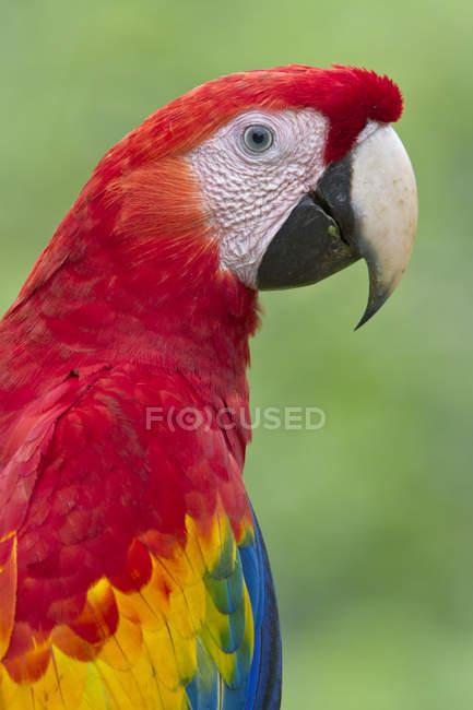 Алый ара сидит на открытом воздухе, портрет профиля . — стоковое фото