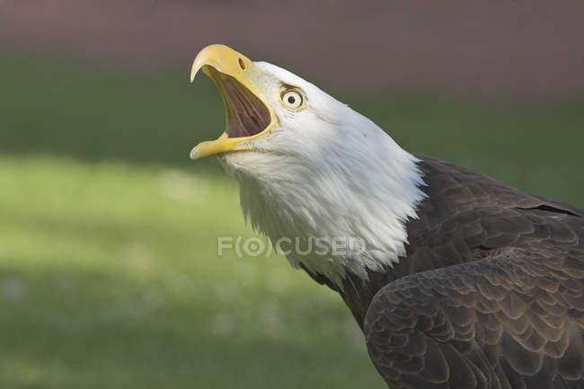 Белоголовый орлан, вызов с открытым клювом на открытом воздухе. — стоковое фото