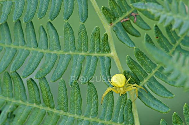 Araignée crabe sur feuille de fougère vert, gros plan — Photo de stock
