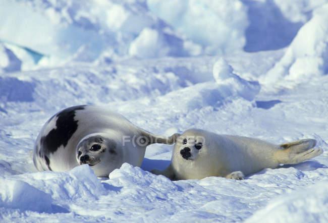 Sigillo di arpa e cucciolo a riposo nella neve del Golfo di San Lorenzo, Canada . — Foto stock