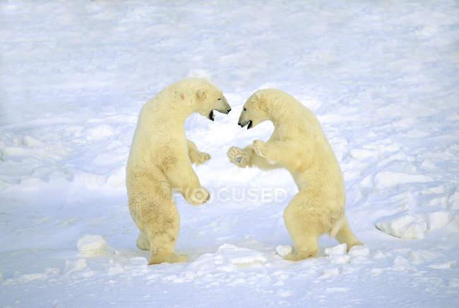Чоловіка полярні ведмеді, боротьба грати в білому снігу. — стокове фото