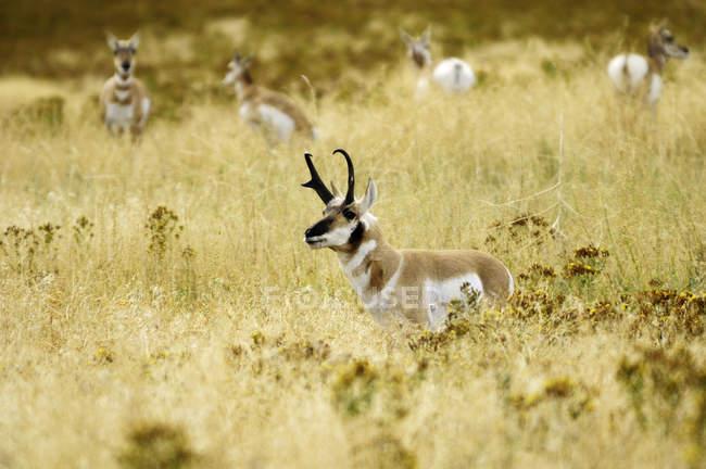 Антилопы Пронгхорн пасутся в Монтане, США — стоковое фото