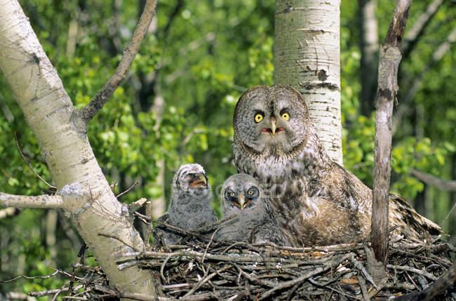Взрослый серый сова с совами гнездятся в гнезде на дереве . — стоковое фото