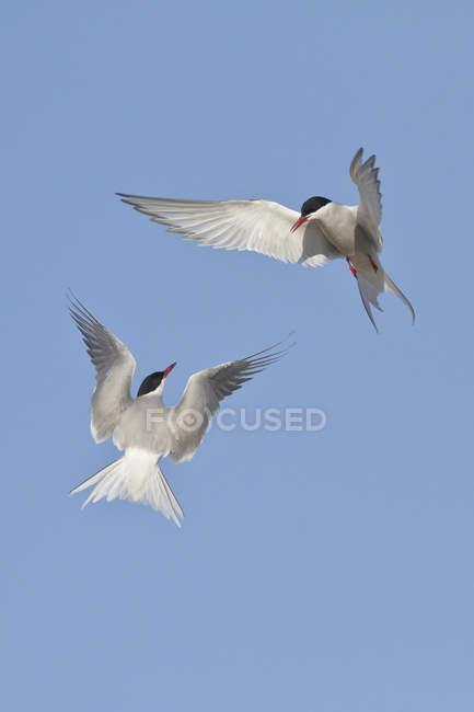 Sterne artiche che volano in cielo blu con le ali spiegate. — Foto stock