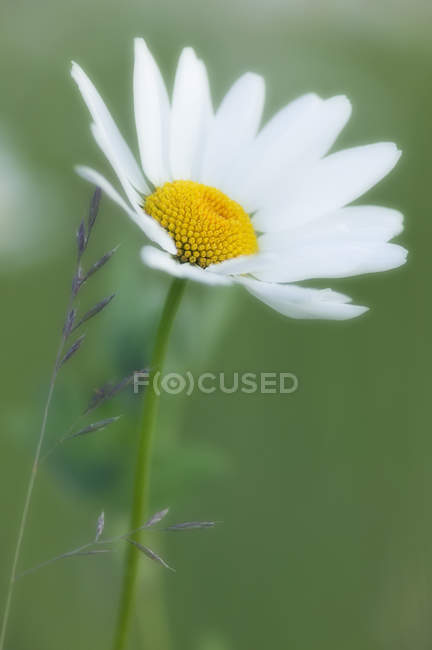 Close-up of ox-eyed daisy flower — Stock Photo