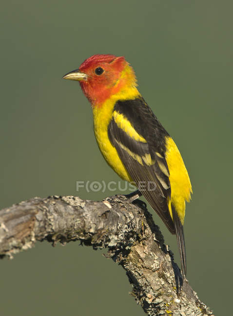 Western tanager perched on oak branch, close-up. — Stock Photo