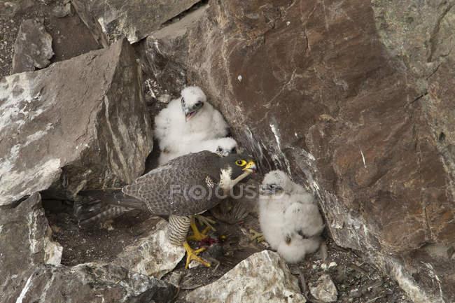 Falco con i pulcini di nidificazione nelle rocce. — Foto stock