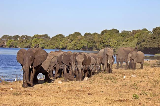Стадо слонів ходьбі в Африці Чобе Національний парк, Ботсвана, waterhole — стокове фото