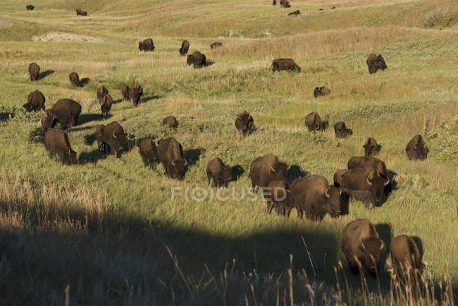 Bison herd moving across grassland of Custer State Park, South Dakota, USA — Stock Photo