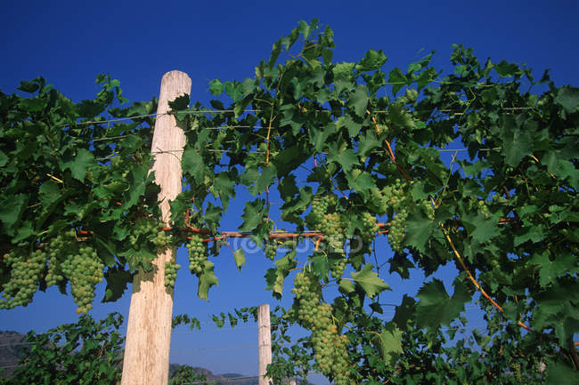 Low angle view of Okanagan white grapes in vineyard, British Columbia, Canada. — Stock Photo