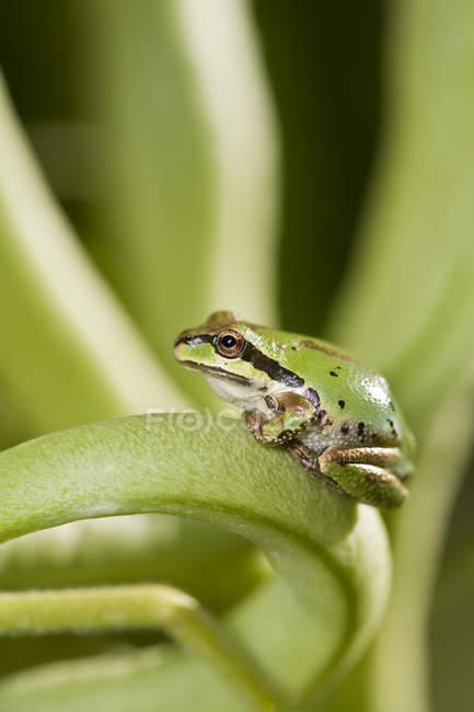 Закри зелений Тихоокеанська деревна жаба сидить на стебло. — стокове фото