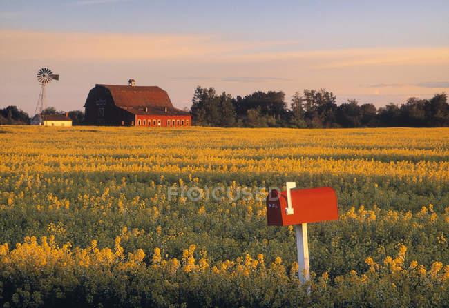 Campo de Canola, caixa de correio vermelha e casa de fazenda perto de Leduc, Alberta, Canadá . — Fotografia de Stock