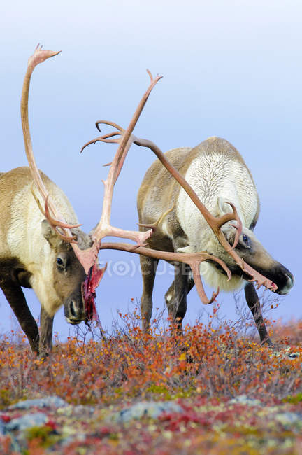 Бесплодные быки карибу спарринг в осенний сезон гниения, Бесплодные земли, Арктическая Канада — стоковое фото