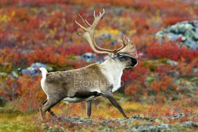 Taureau de caribou de la toundra marchant sur Prairie automnale dans Barren Lands, dans l'Arctique canadien — Photo de stock