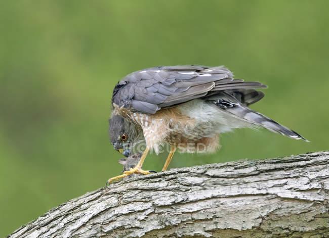Sharp – shinned hawk mangiare roditore preda sulla perchia. — Foto stock