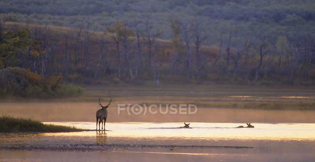 Alces cruzando el río al amanecer, Alberta, Canadá . - foto de stock