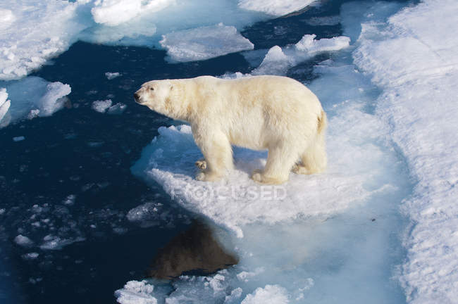 Orso polare in piedi sul ghiaccio vicino all'acqua nell'arcipelago delle Svalbard, nell'Artico norvegese — Foto stock