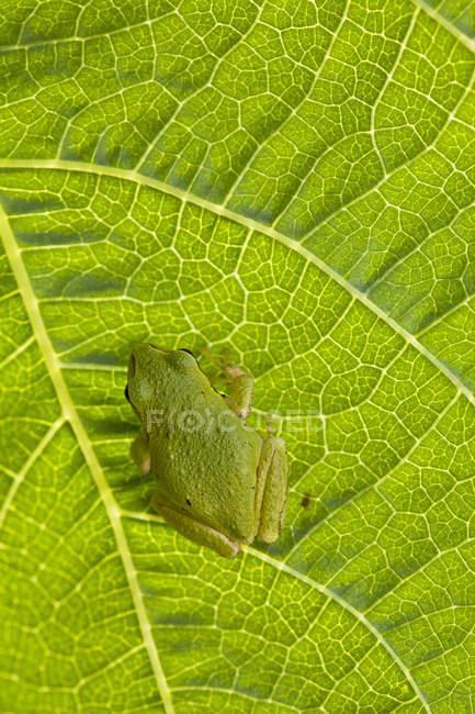 Крупный план зеленой лягушки Тихоокеанского дерева, сидящей на листьях растений . — стоковое фото