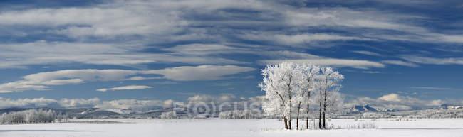 Árvores geladas no campo de neve perto de Cochrane, Alberta, Canadá . — Fotografia de Stock