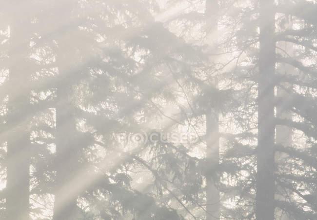Туман через белый елей горный вид Каунти, Альберта, Канада. — стоковое фото