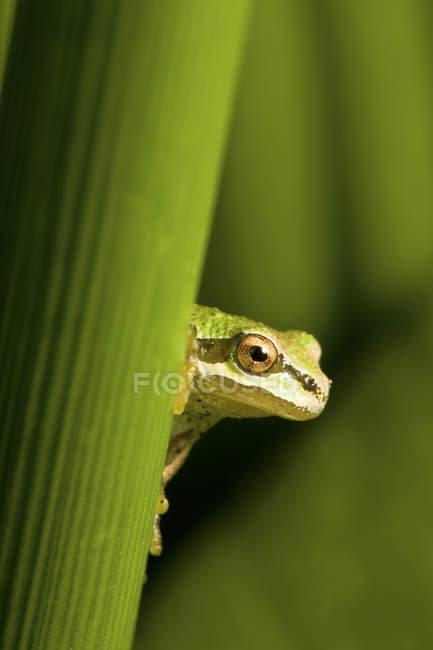 Закри зелений Тихоокеанська деревна жаба сидить на заводі лист. — стокове фото