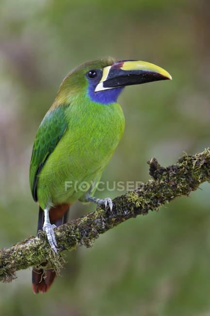 Tucanetto smeraldo esotico appollaiato sul ramo in Costa Rica. — Foto stock