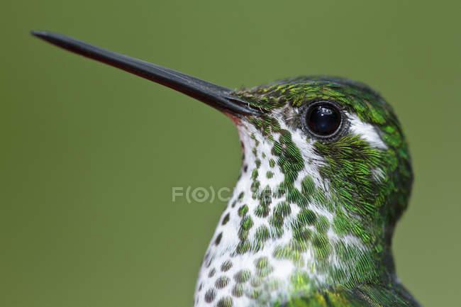 Пурпурно-нагрудник колибри с длинным клювом, портрет . — стоковое фото