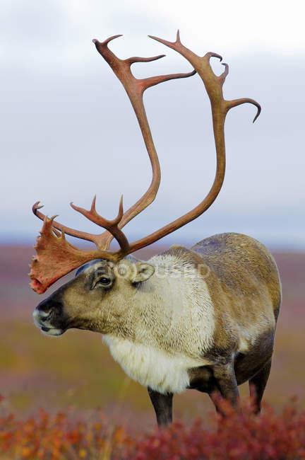 Caribou de la toundra taureau debout sur une prairie automnale dans les terres arides, dans l'Arctique canadien — Photo de stock