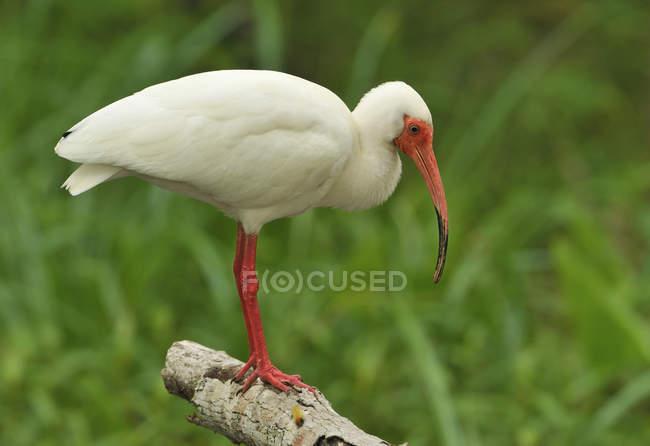 Ibis bianco appollaiato sul registro in zona umida. — Foto stock