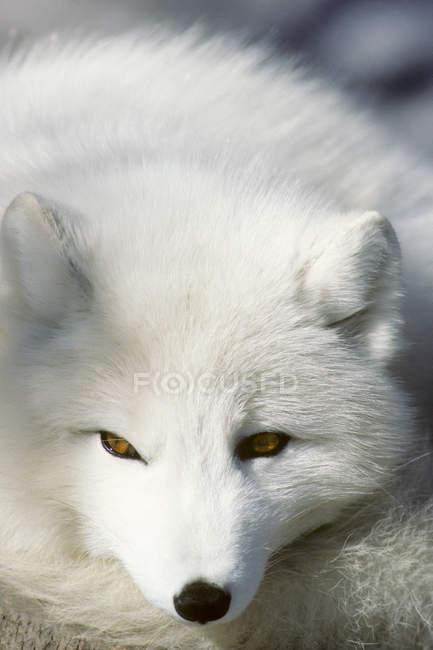 Взрослая арктическая лиса зимой отдыхает, крупным планом . — стоковое фото